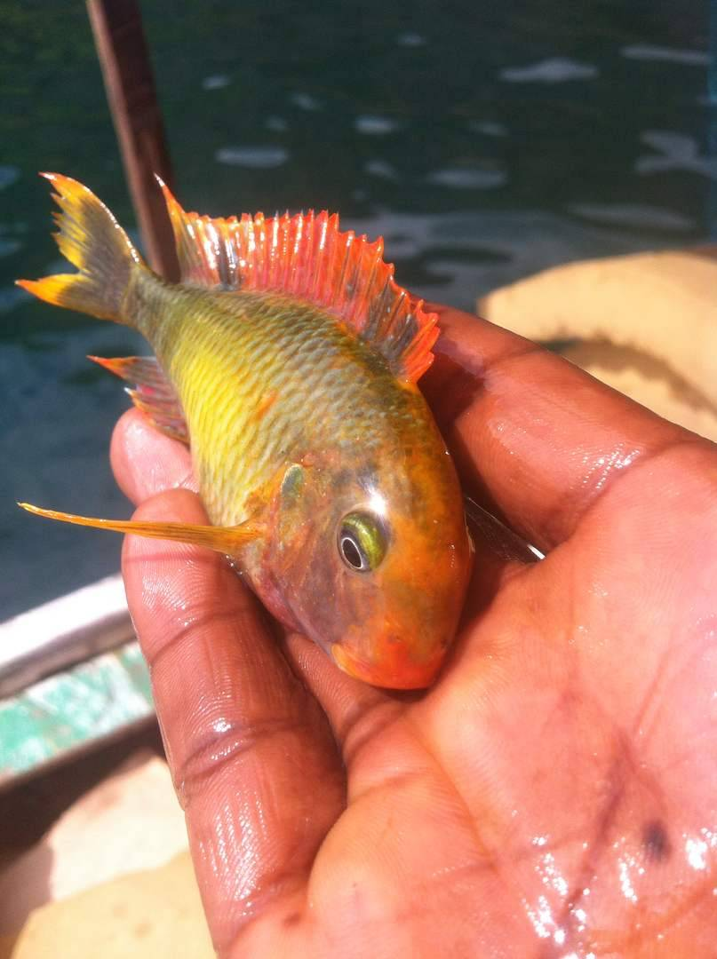 Tropheus golden red rainbow