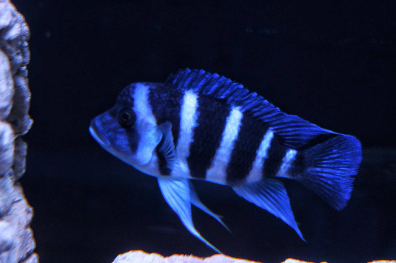 Cyphotilapia frontosa blue Zaire Moba